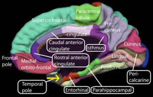 Medial_surface_of_cerebral_cortex_-_entorhinal_cortex