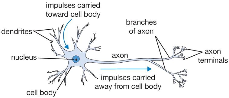 jaringan neuron